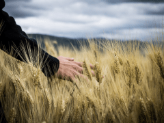 Wheat Production Requirements and Harvesting