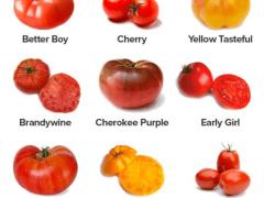 Types Of Tomatoes   John Deschauer
