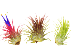 Plantgrowpick - How to Grow and Care for Air Plant